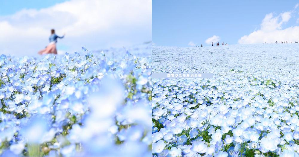 藍色控的專屬浪漫!日本超夢幻「藍粉蝶花海」,4月尾去就看到遍地藍花啦〜